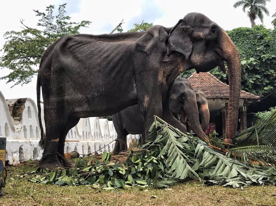 70-year-old elephants emaciated body hidden behind a festival costume