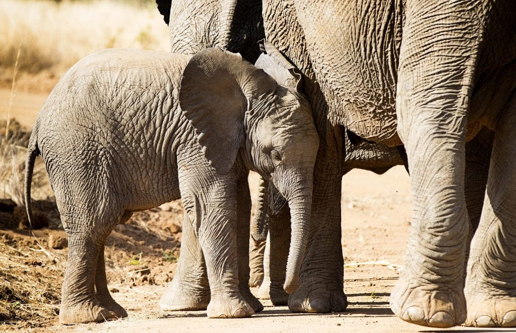 Trade In Baby Elephants Taken From The Wild Banned Internationally