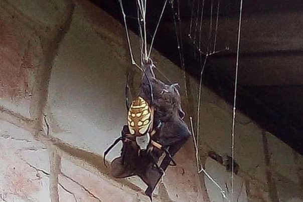 Giant spider catches a bat in its web