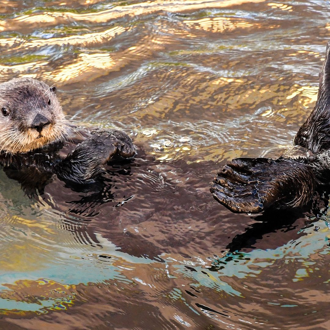 Endangered Otters Protected From Trade After Instagram Trend Threatens Them