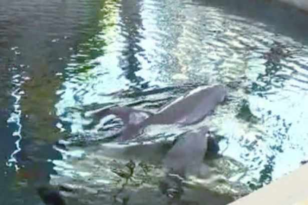 Overworked Baby Dolphin Dies Mid Performance