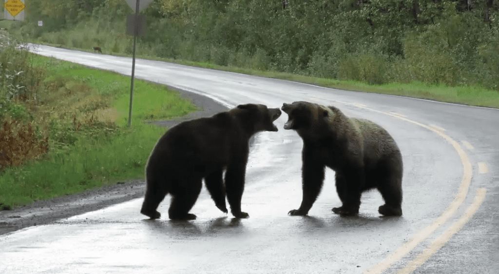 Rare Grizzly Bear Fight Caught On Camera