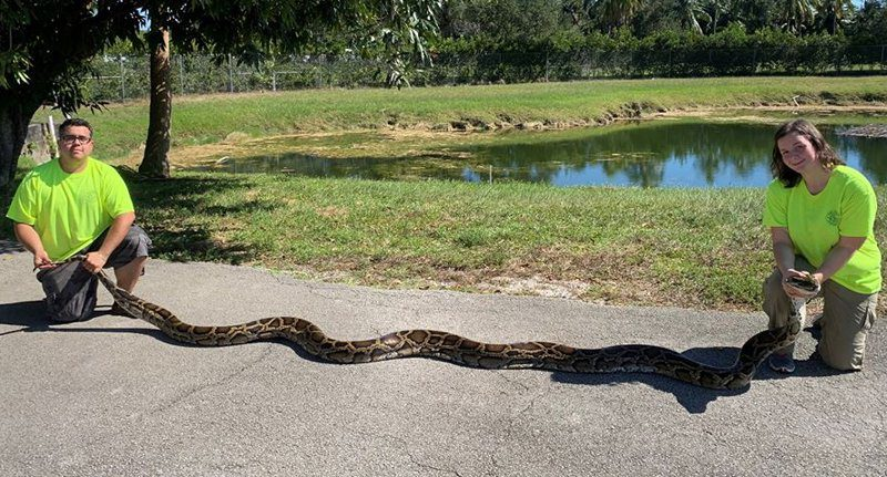 Giant python caught in florida