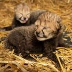 World's First IVF Cheetah Cubs
