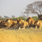 14 Lions Escape Serengeti