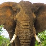Herd Of 32 Elephants Could Be Killed After Conservationist Was Trampled