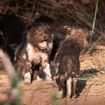 Londolozi Welcomes First Wild Dog Pups In A Decade