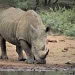 South African Government Aims To Legalise Rhino Consumption