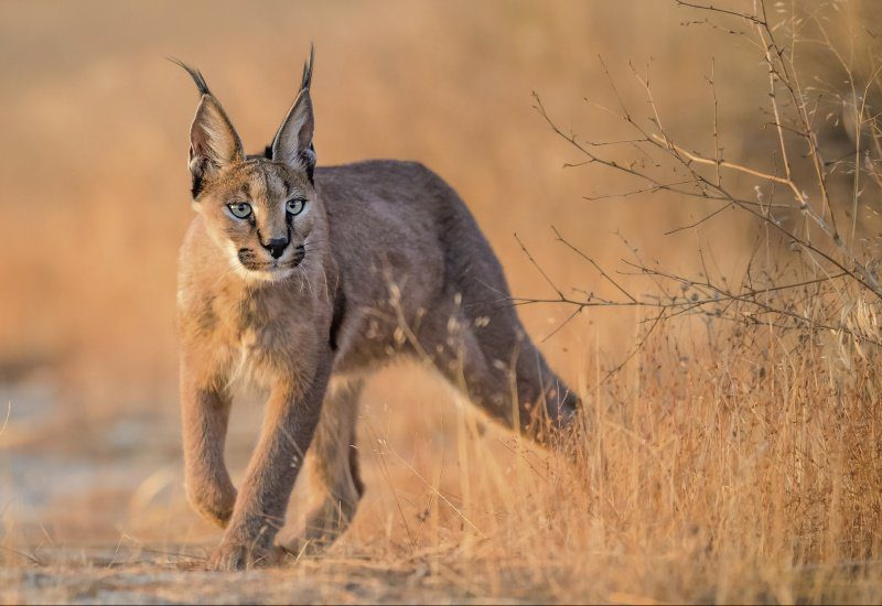 The 7 Wild Cats Of Africa You've Probably Never Heard Of