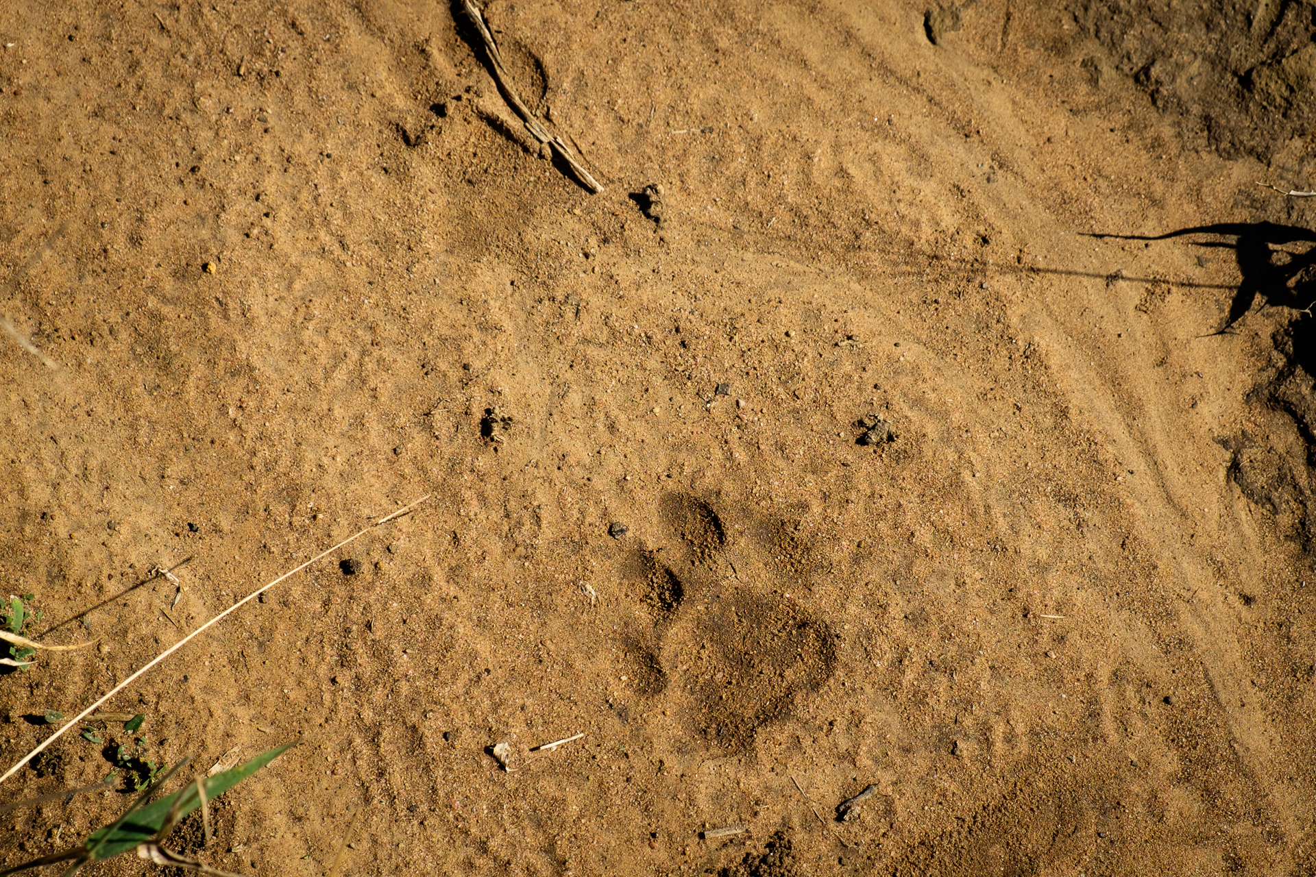 Identifying Big Cat Tracks in Africa