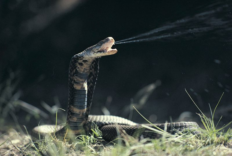 the 10 deadliest snakes in Africa
