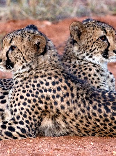Patsy and the cheetahs of the Greater Makalali Private Nature Reserve